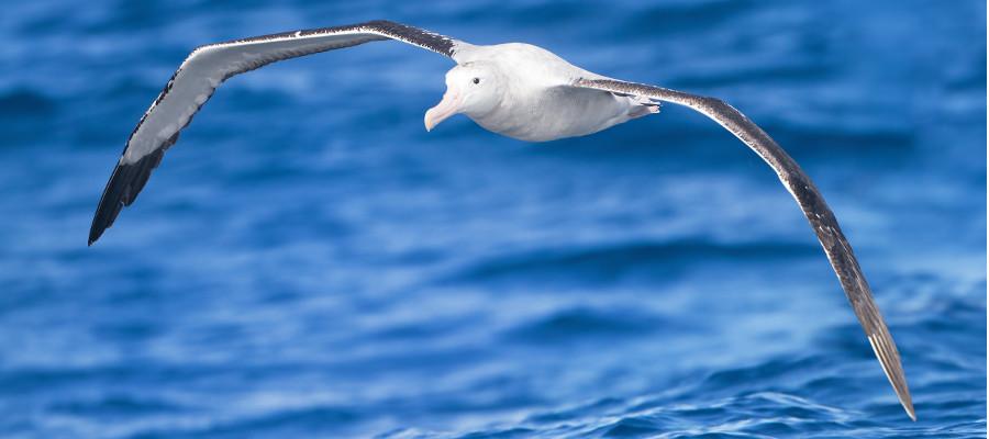 Antarctica-seabirds-wandering-albatross