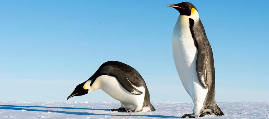 antarctica-wildlife-penguin