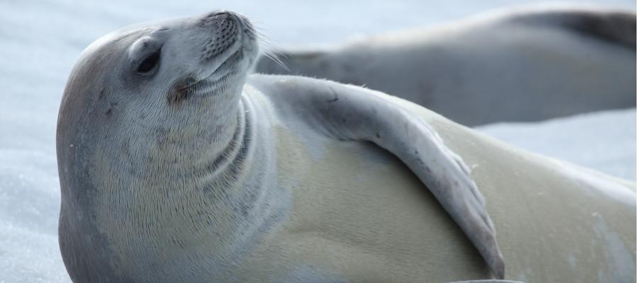 antarctica-wildlife-seal